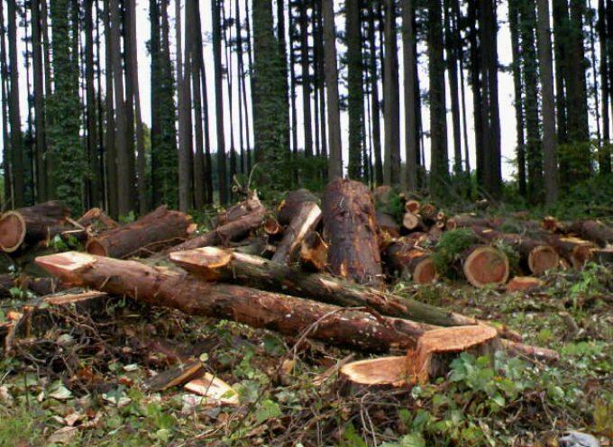 Centinaia di piante di pino tagliate abusivamente