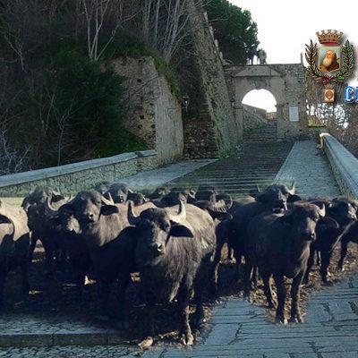 Qualcuno a Paola, oggi, cerca di insediare un allevamento di bufale