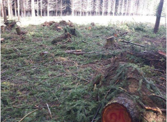 Ditta boschiva denunciata per taglio abusivo di abeti