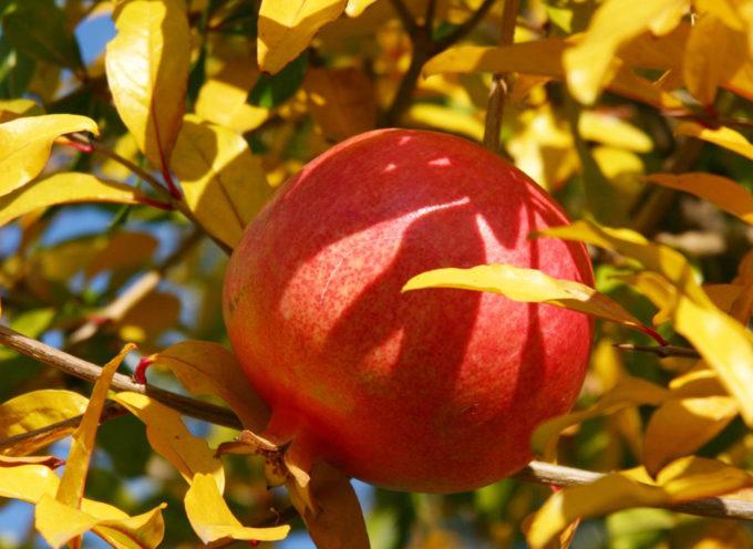 Frutti dimenticati, un tesoro della biodiversità colturale calabrese
