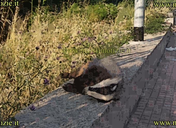 Paola – Ucciso un Tasso su Viale Charitas [Foto BRUTTE]