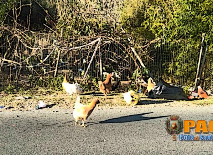 Paola – A Via Charitas le auto fanno zigzag tra i rifiuti e le galline razzolano
