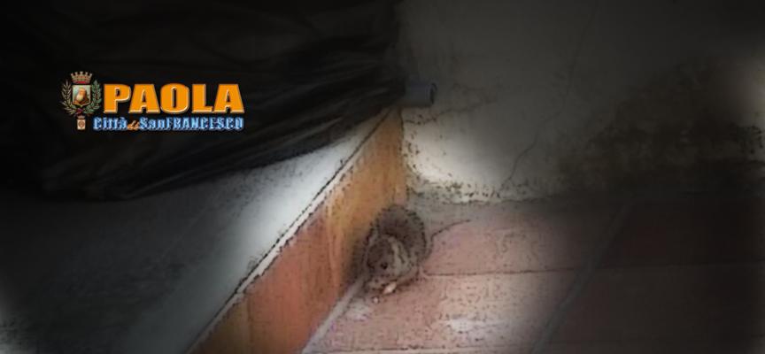 Paola – La raccolta ritardata dei rifiuti piace tanto ai topi di Sant'Agata