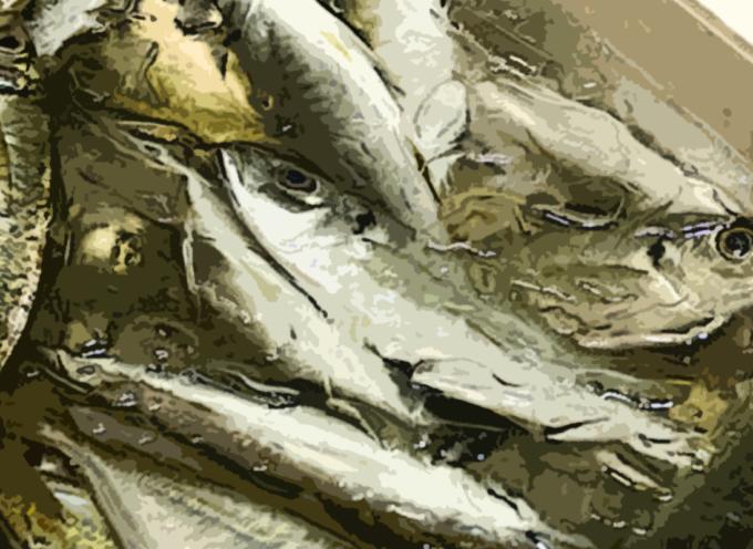 210 KG di Pesce Avariato pronto ad invadere il mercato in provincia di CS