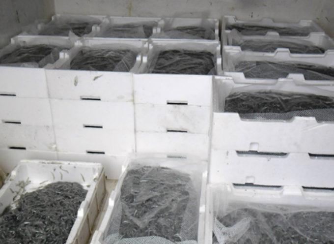 GdF sequestra 400Kg di novellame di sarda pescati nel mare del cosentino