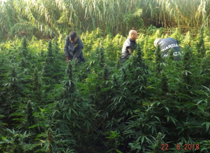 """Sequestrate piantagioni di Marijuana (tipo """"Skunk"""") dal valore di 36Mln di €"""